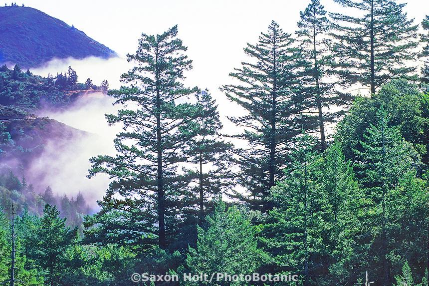 Mount Tamalpais landscape, Douglas Fir trees and fog