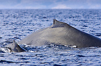 Mom and calf humpback whale surface together near Kihei, Maui.
