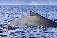 Mom and calf humpback whale surface together near Kihei, Maui.