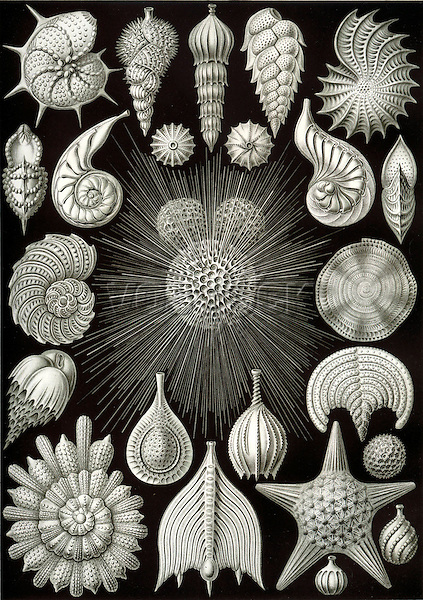 Thalamphora (Marine Plankton), by Ernst Haeckel, 1904
