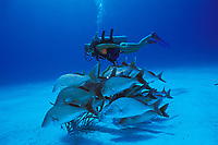 diver and margates, Haemulon album, West Caicos, Caribbean, Turks & Caicos Islands, Caribbean, (Western Atlantic Ocean)