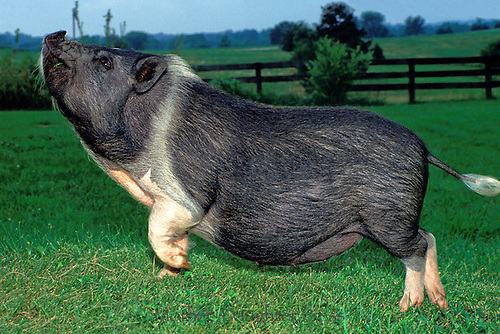 """Show pig: Jeezebel the prize winning potbelly show pig from """"Pig o my heart"""" farms."""