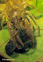 1Y06-050b  Crayfish - eating prey