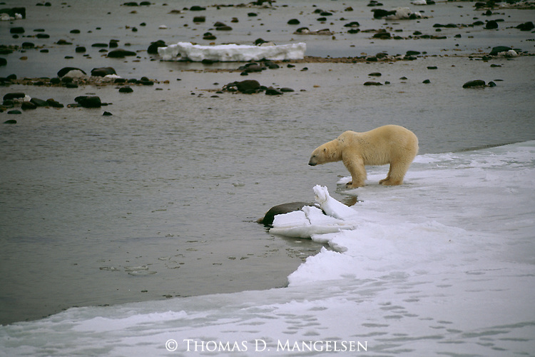 A polar bear stands on the edge of the ice field.