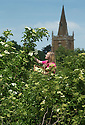 16/06/15<br /> <br /> Overlooking St. Denys Church in Eaton, Hannah Nichols-Pearce (23) starts the elderflower harvest at Belvoir Fruit Farms, Leicestershire.  Unusually cool nights in the Midlands have caused the harvest to be three weeks late and it's now a fight against time to bring in the blossoms.  The appeal of elderflower cordial has seen Belvoir's sales increase by 20 percent in the last year and the need for the family run business to invest in a £4.5m state of the art factory to keep up with demand.<br /> <br /> <br /> All Rights Reserved - F Stop Press.  www.fstoppress.com. Tel: +44 (0)1335 418629 +44(0)7765 242650