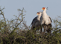 We had a nice encounter with a pair of Secretary birds, which were actively working on their nest.