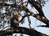 The Verreaux's Eagle-owl is the most common large owl species I usually see on my South Africa trips.