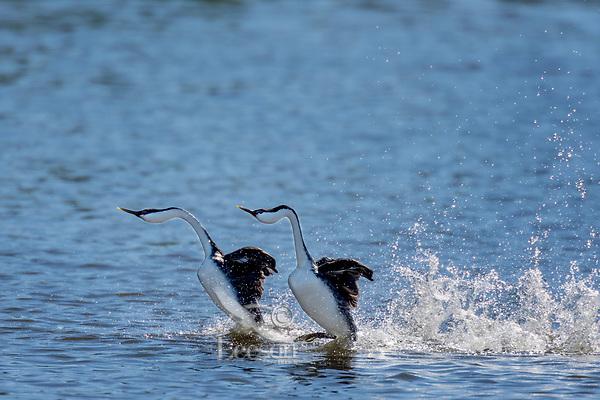 "Dancing Western Grebes (Aechmophorus occidentalis).  Klamath Basin, Oregon.  May.  This courtship dance is sometimes called ""rushing."""