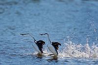 "Dancing Western Grebes (Aechmophorus occidentalis).  Klamath Basin, Oregon.  May.  This courtship dance is sometimes called ""rushing."""