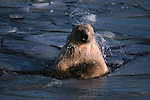 Polar bear shakes off water after a swim.