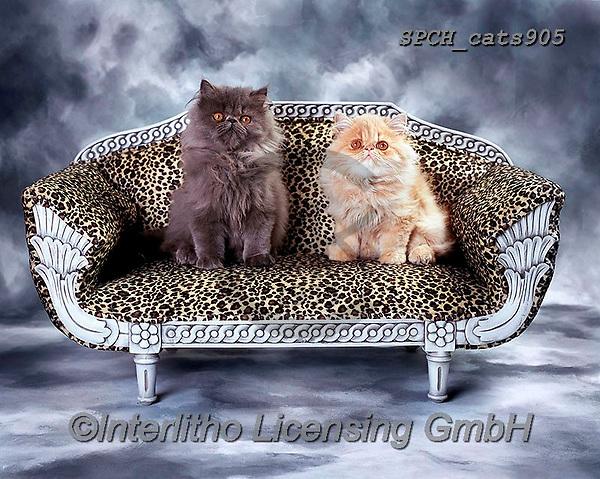 Xavier, ANIMALS, REALISTISCHE TIERE, ANIMALES REALISTICOS, cats, photos+++++,SPCHCATS905,#a#, EVERYDAY