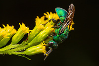 A Cuckoo Wasp (Hedychrum sp.) forages on Goldenrod flowers.