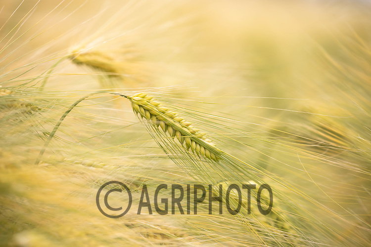 24-6-2021 Libra Winter Barley<br /> ©Tim Scrivener Photographer 07850 303986<br />      ....Covering Agriculture In The UK....