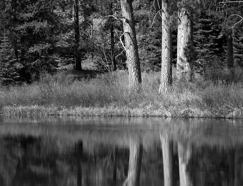 Ponderosa pine trees reflected in Deschutes River. Oregon.