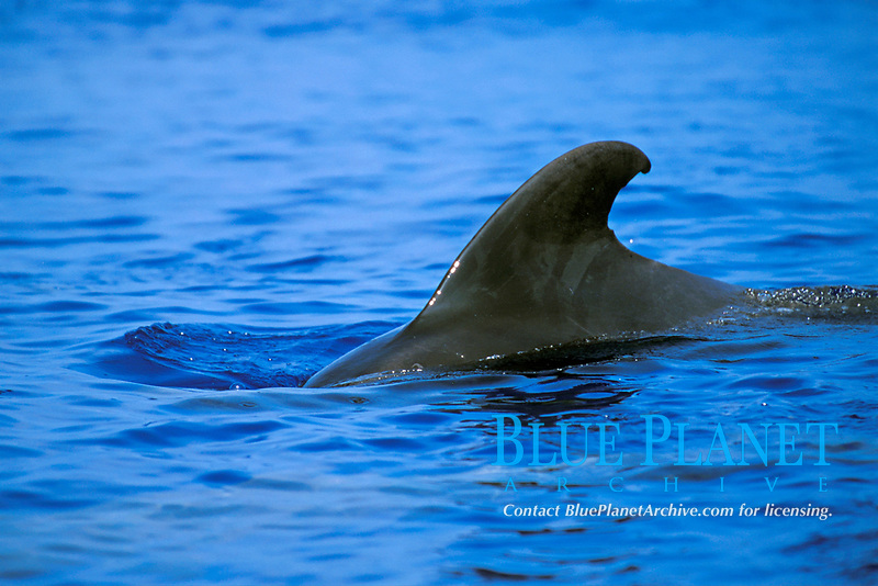 short-finned pilot whale, female or juvenile, dorsal fin, Globicephala macrorhynchus, Big Island, Hawaii, Pacific Ocean