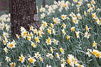 Beautiful daffodils grown around a tree bark in Gibbs Garden, Georgia USA - Free nature stock image