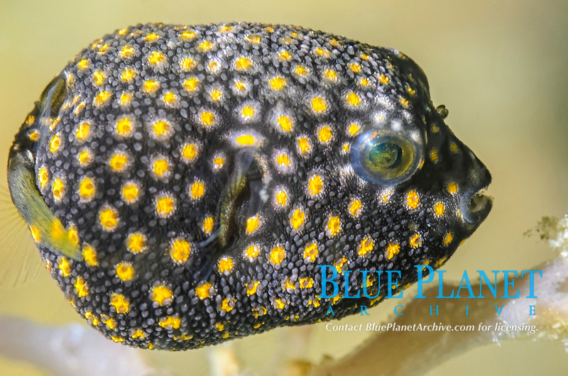 juvenile Guineafowl puffer, Arothron meleagris, Lembeh Strait, North Sulawesi, Indonesia, Pacific