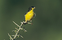 Lesser Goldfinch, Carduelis psaltria, male, Starr County, Rio Grande Valley, Texas, USA, May 2002