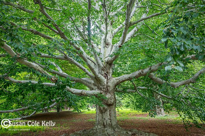 Beech trees at the Arnold Arboretum in the Jamaica Plain neighborhood, Boston, Massachusetts, USA