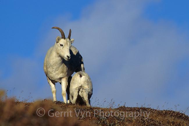 Dall Sheep (Ovis dalli) ewe and lamb. Brook's Range, Alaska. September.