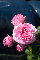 Rosa Gertrude Jekyll aka Ausbord, pink flowers roses. GERTRUDE JEKYLL is an upright, bushy, shrub rose. It is a David Austin English rose