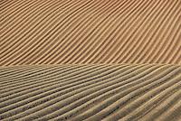 Planted potato field, Pensax, Worcestershire.