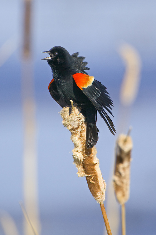 Red-winged Blackbird singing from an old bulrush