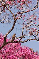 savannah hawk in Pantanal Brazil