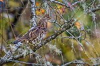 Ruffed Grouse (Bonasa umbellus).  Western U.S., Fall.