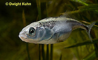 1S10-560z  Female Threespine Stickleback, female's belly distended and luminous with a load of 50-500 eggs, Marine form, Gasterosteus aculeatus