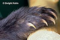 MA01-131a  Black Bear - paw -  Ursus americanus