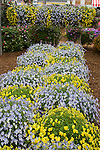 Display of Violina Blue and White and Violina Yellow Violets