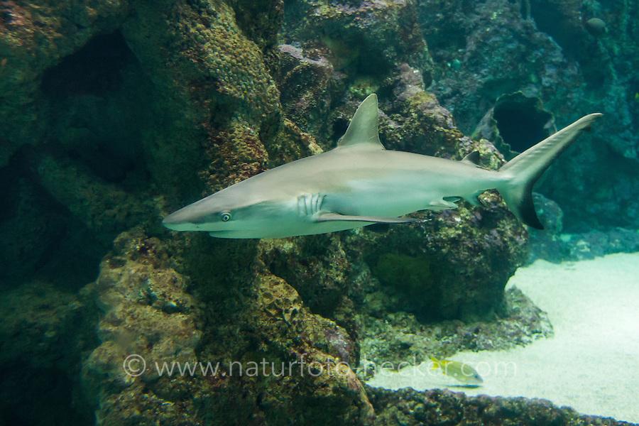 Grauer Riffhai, Hai, Haie, Carcharhinus amblyrhynchos, Carcharias amblyrhynchos, Grey reef shark, Gray reef shark, Blacktail reef shark, shark, sharks