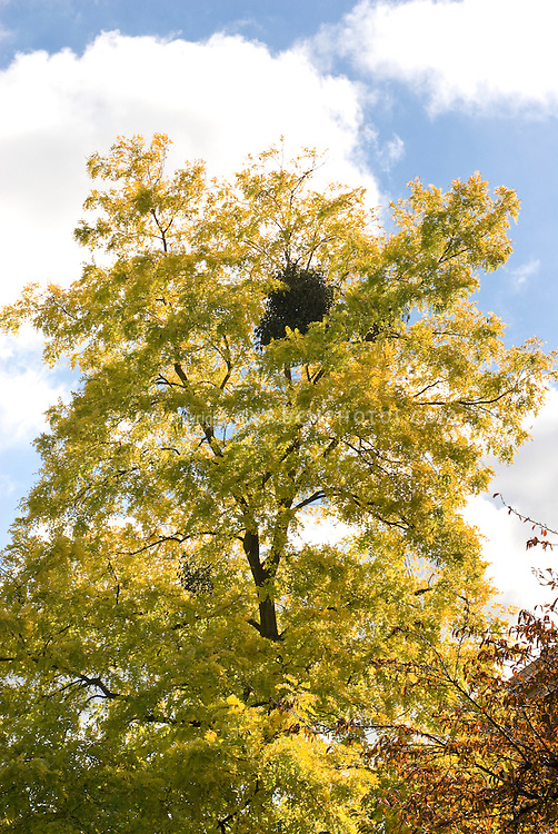 Robinia pseudacacia 'Frisia' with mistletoe growing in tree, Viscum album