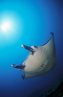 reef manta ray, Manta alfredi, Tofu Manta Point, Mozambique, Indian Ocean