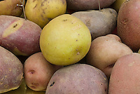 Potatoes Solanum tuberosum ssp. andigena (mixed), 48 chromosomes