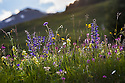 Alpine meadow in flower. Austrian Alps, Austria, Nordtirol, 1700 metres altitude, June