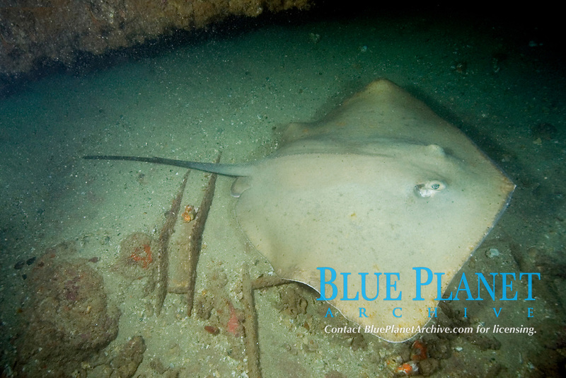 Roughback stingray at night, under Exmouth Navy Pier, Himantura jenkinsii, Also known as Jenkins whipray and Jenkins stingray, Exmouth, Western Australia, Indian Ocean