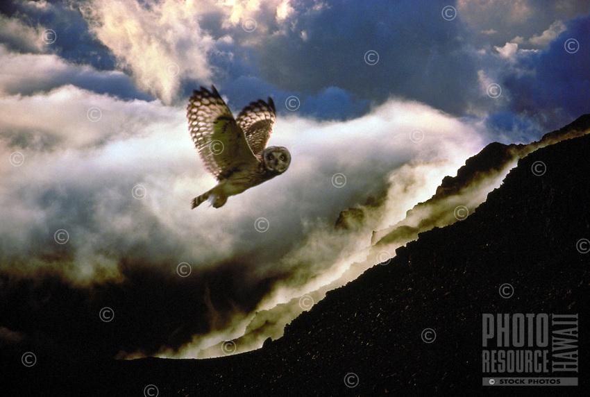 Pueo, Hawaiian short eared owl