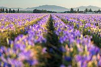 Field of blue iris, Skagit Valley, Mount Vernon, Washington