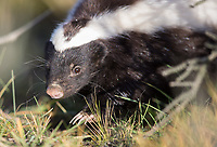 One of the cool mammals we get to see during these trips is the skunk.  We were fortunate to see a few skunks this time.