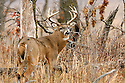 00274-309.07 White-tailed Deer Buck (DIGITAL) large antlers and huge body is near blowdown in oak forest during fall rut.  Hunt, breed.  H5R1