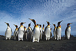 King Penguins. Macquarie Island Australian Sub Antarctic Islands.