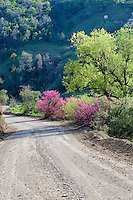 Dirt road through Bear Valley with Red Bud Bushes. California