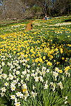 Daffodils in bloom in spring at Daffodil Hill near Volcano, Amador County, Calif.