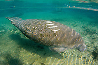 Florida Manatee, Trichechus manatus latirostris, A subspecies of the West Indian Manatee. A manatee shows new scaring on it's back from a boats propellereller. Crystal River, Florida.