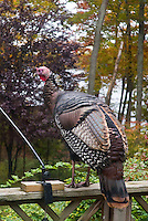 Turkey wild on house deck with bird feeder in autumn fall with fall foliage color, November