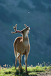 Black-tailed or mule deer fights off flies, Olympic National Park, Washington, USA