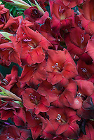 Gladiolus 'Zorro' red