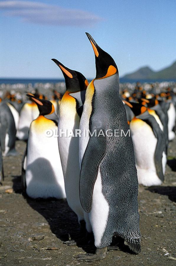 Animais. Aves. Pingüins-reais (Aptenodytes patagonicus). ilha da Geórgia do Sul. Foto de Maristela Colucci.